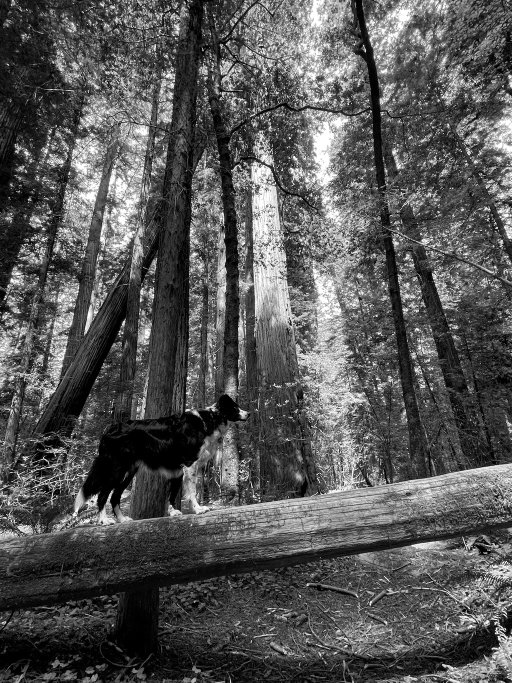 The redwood forest.