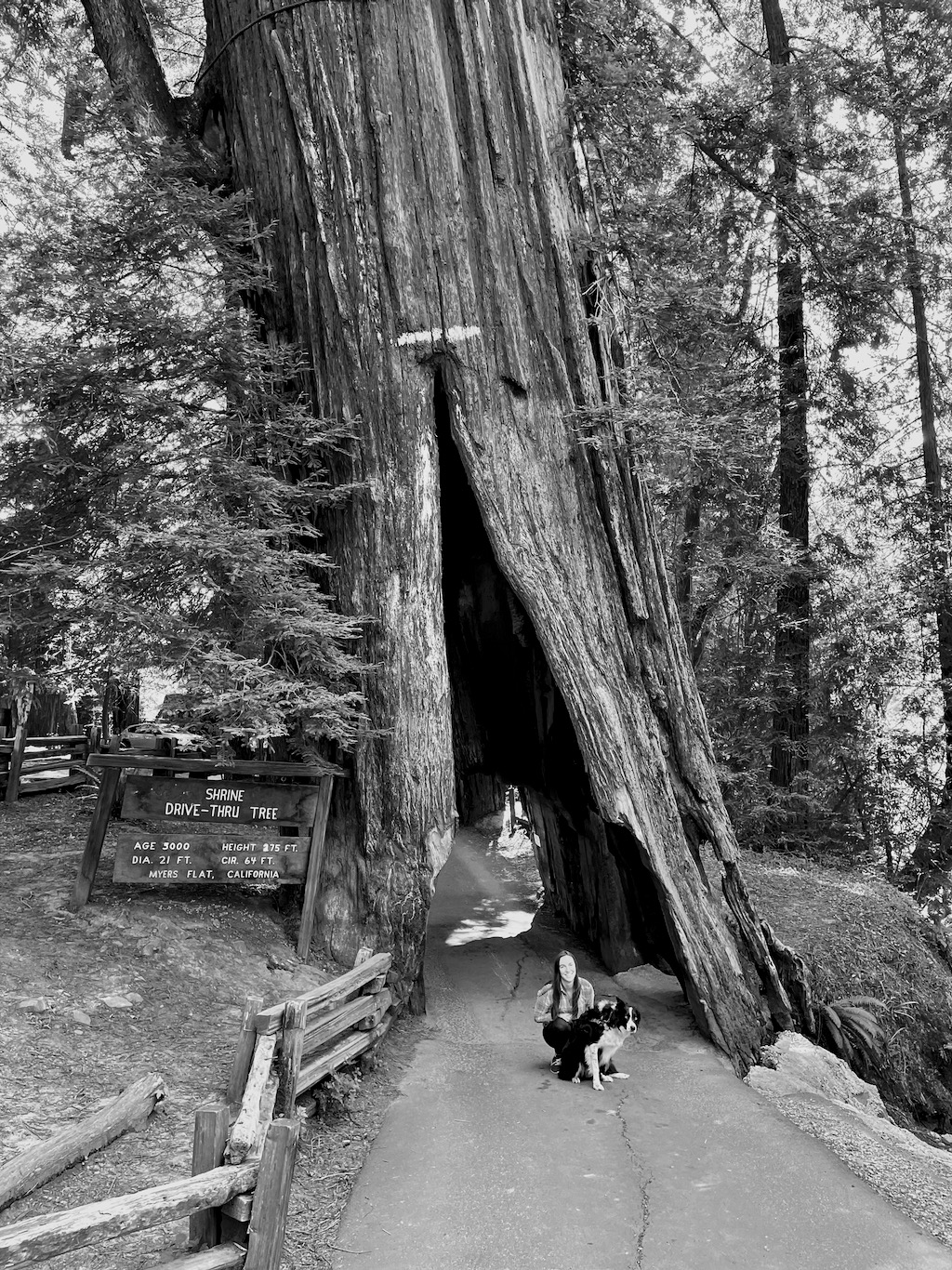 The famous drive-through redwood. I didn't realize it was a dead tree (the end of the stump is just out of view) held up by wires. Also, I don't think most modern cars can fit. We had to abort and walk through.